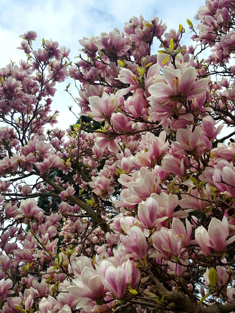 Magnolia diaryblog