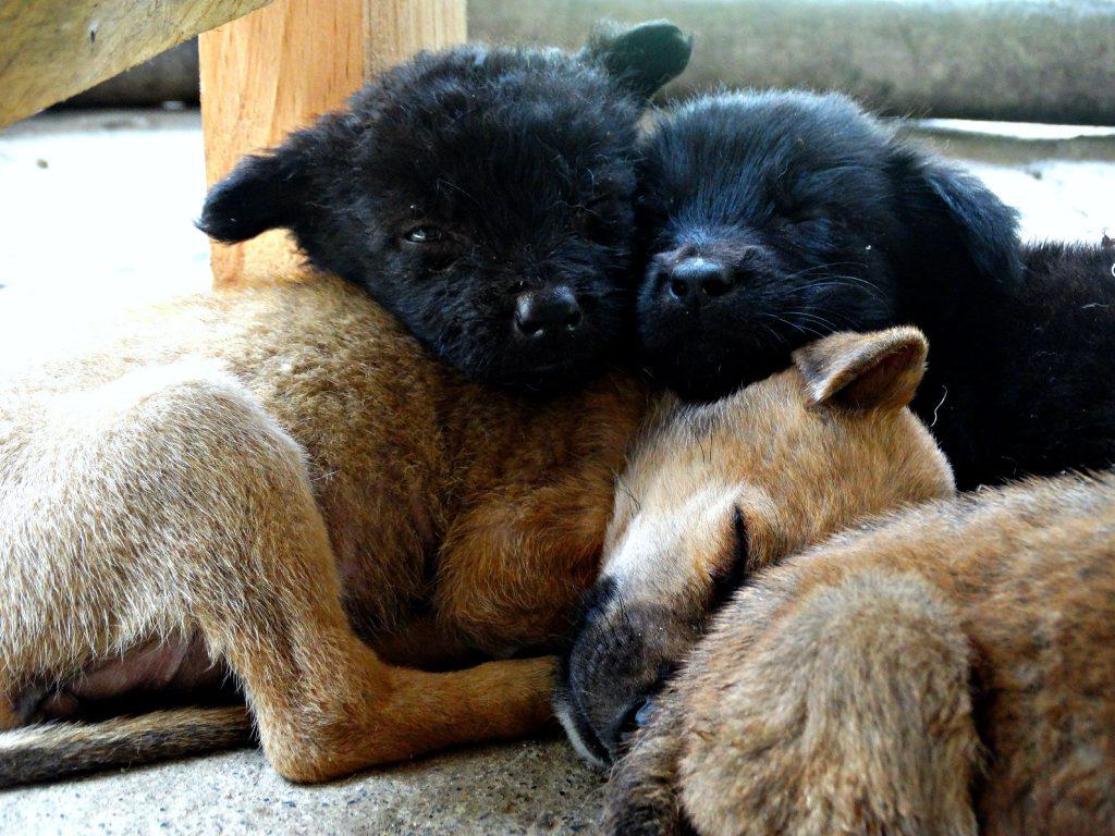 puppy filipijnen