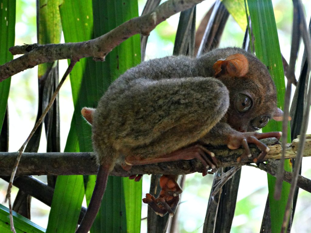 spookdieren bohol tarsier