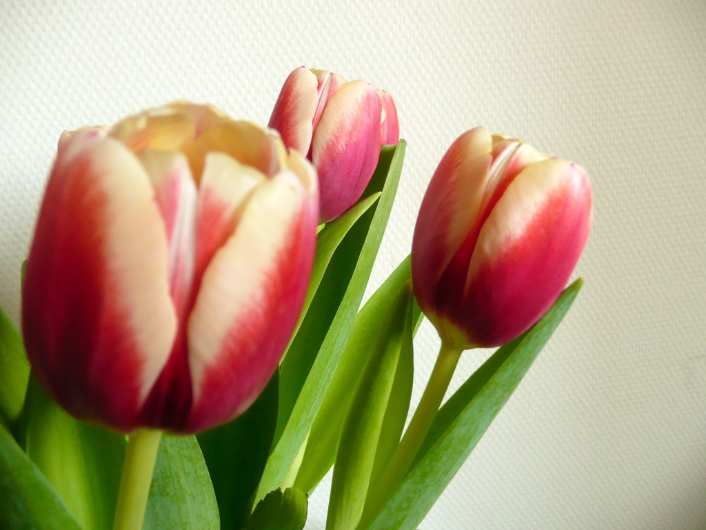 Tulpen!
