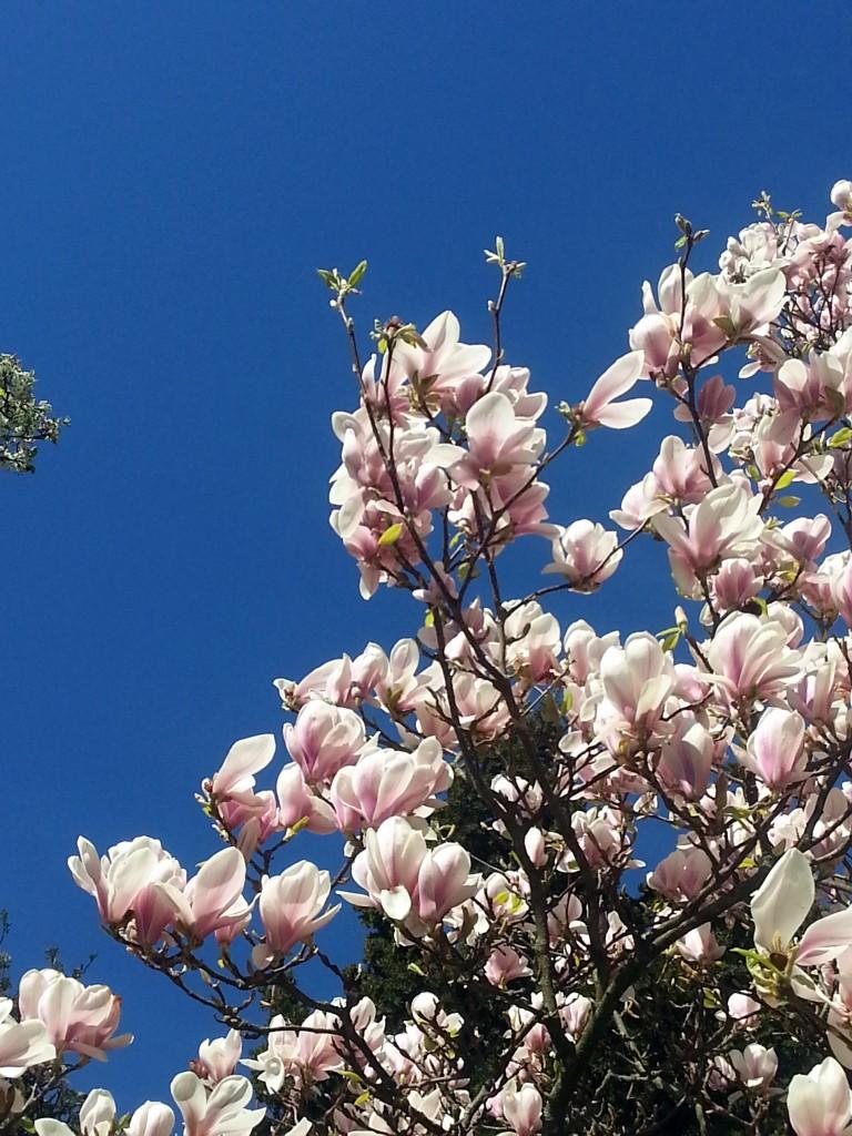 Prachtige magnolia's en een strakke blauwe lucht