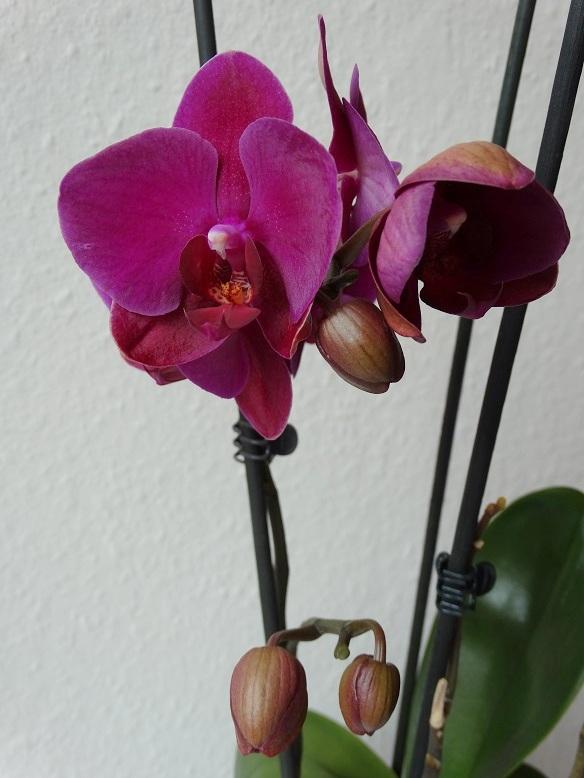 Eindelijk heeft mijn orchidee weer bloemen