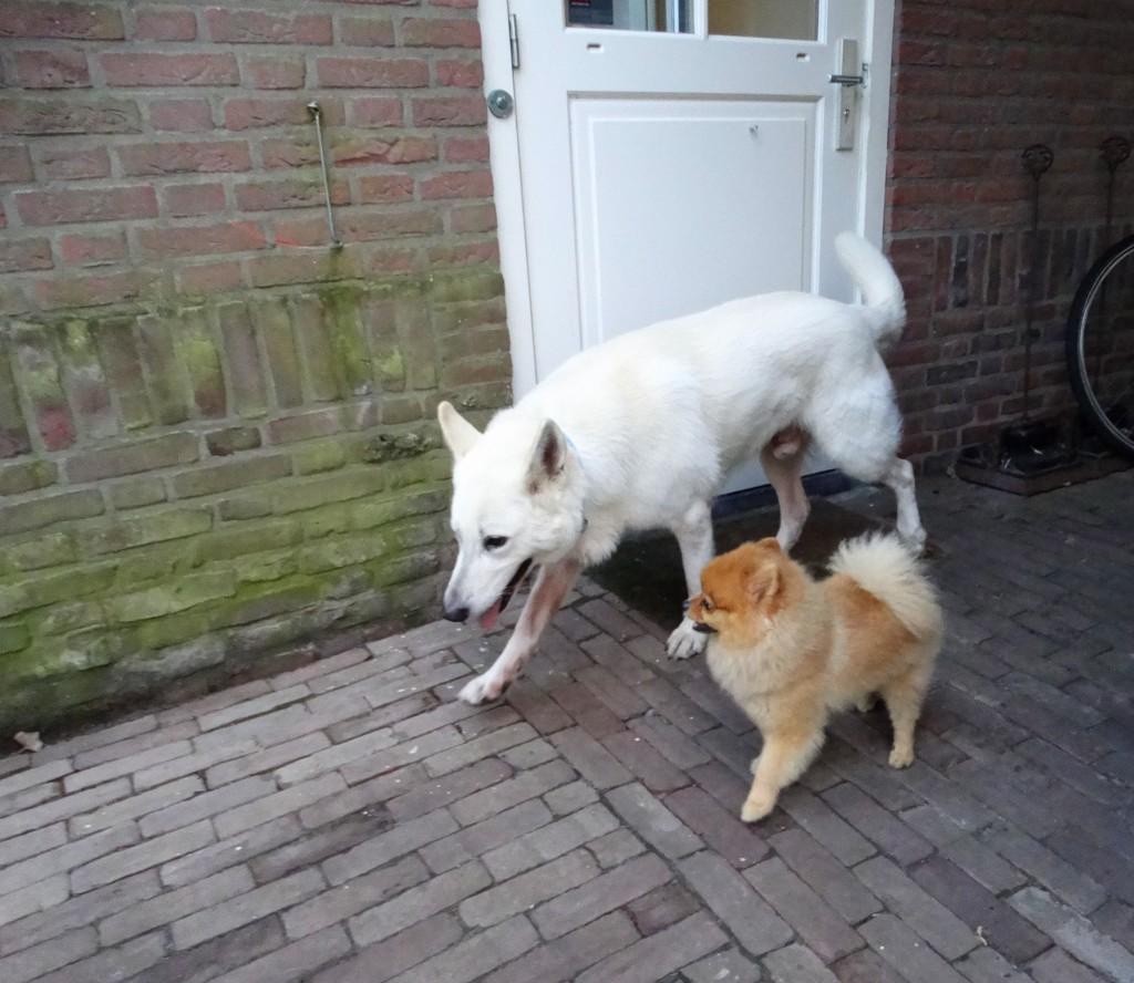 Witte herder en pomeranian spelen samen