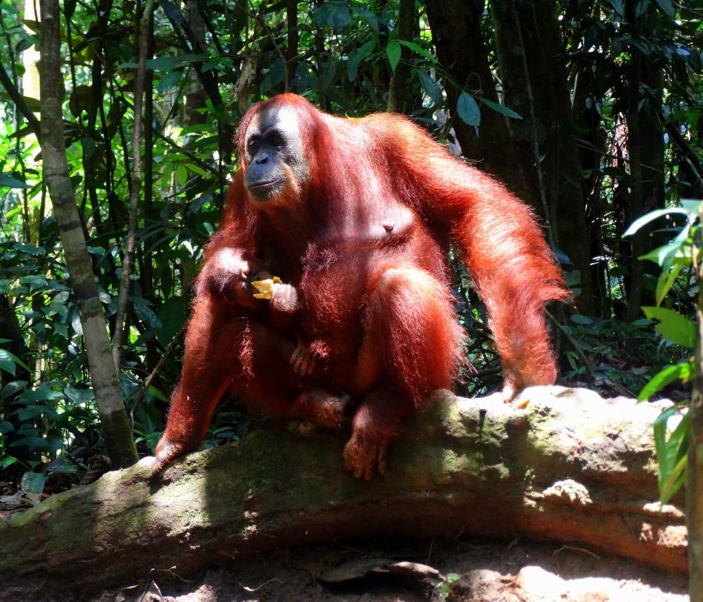Mina orang oetan bukit lawang sumatra indonesie