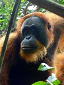 Orang oetan mannetje sumatra bukit lawang