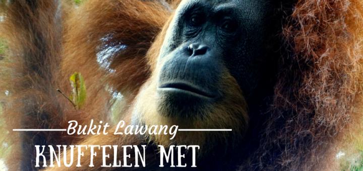 orang oetans Bukit Lawang, Sumatra