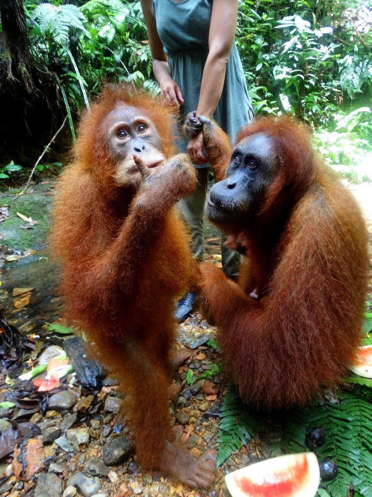 orang oetans eating our fruit bukit lawang Sumatra Indonesia