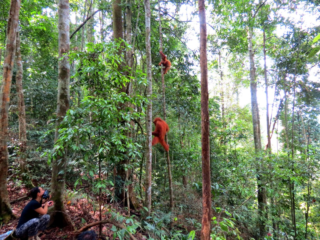 orang oetans sumatra jungle trekking