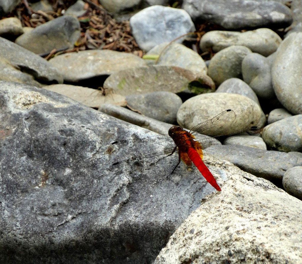 rode libelle bukit lawang