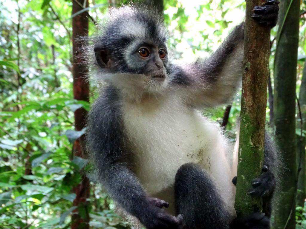 thomas leaf monkey sumatra bukit lawang