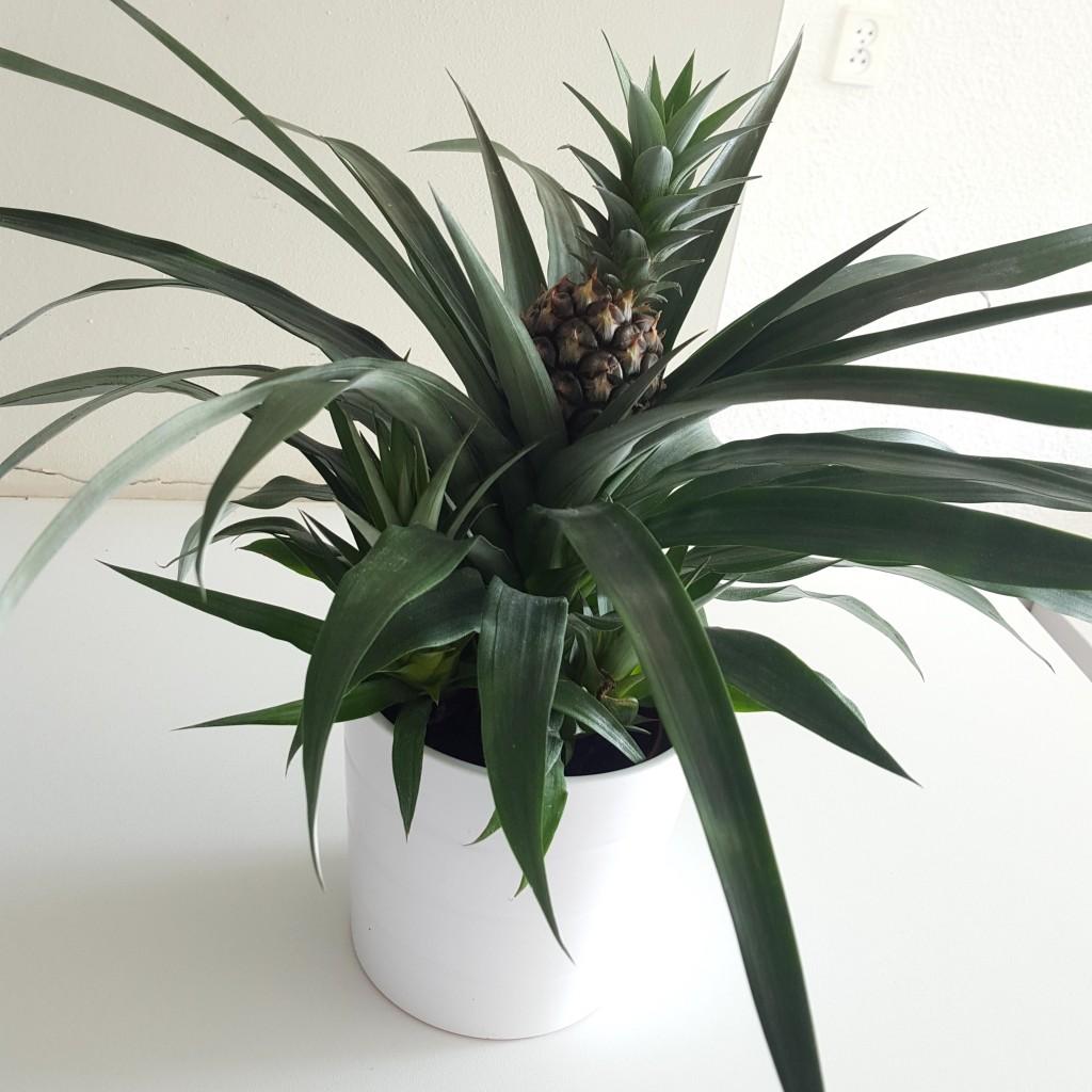 Ananasplant Ikea