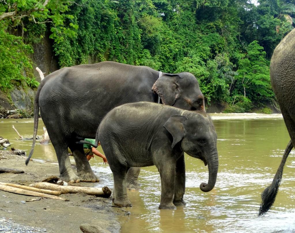 baby olifant Tangkahan
