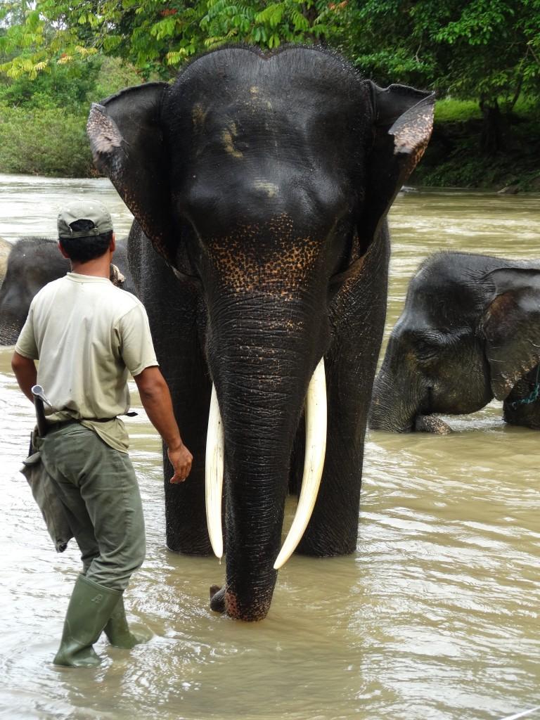 olifanten wassen Tangkahan Indonesie