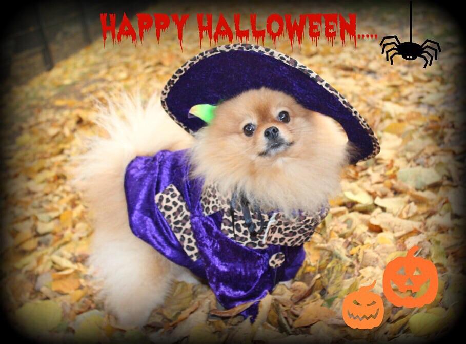 Prince pomeranian halloween pak