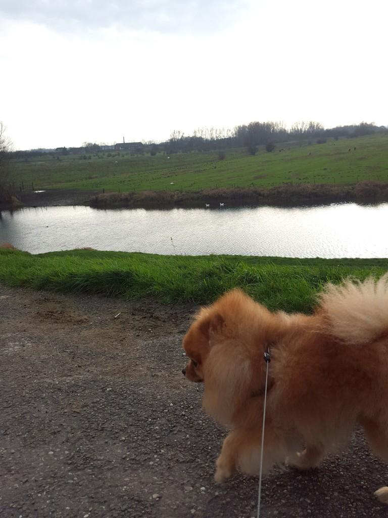 Wandelen met pomeranian Prince aan het water