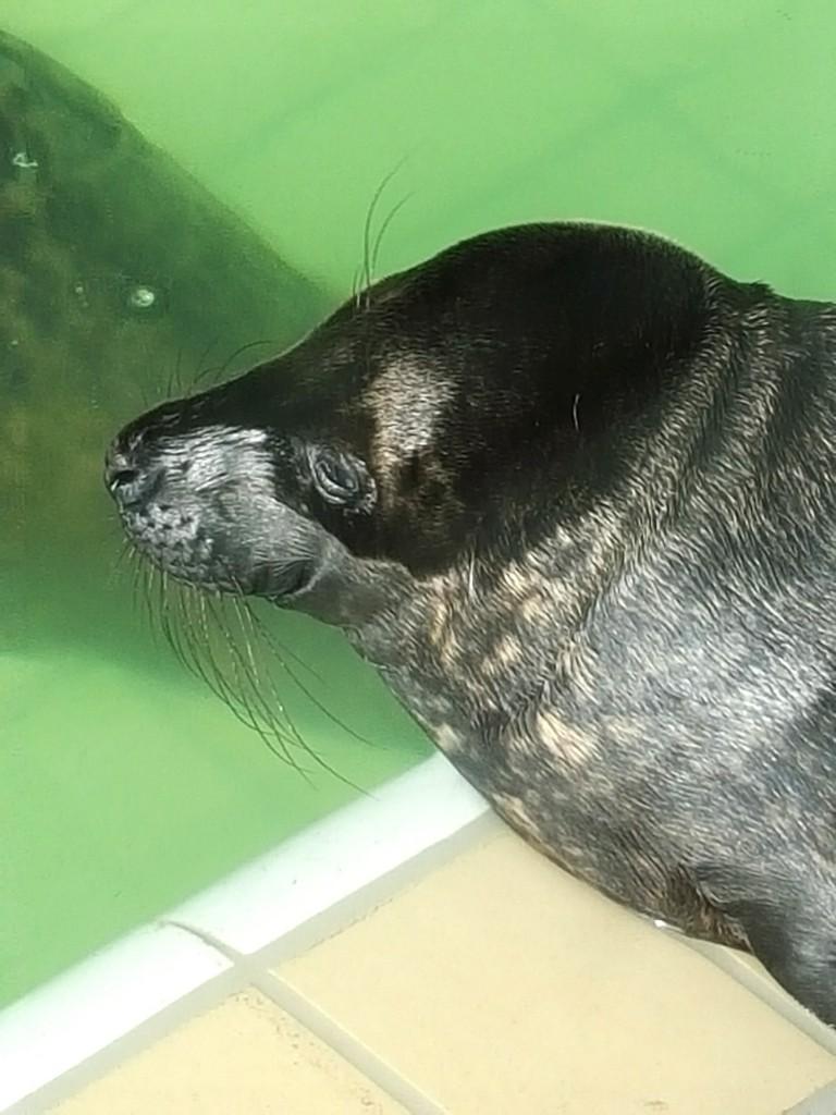 pieterburen zwarte zeehond