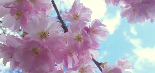 kersenbloesem bloemen hoogtepunten