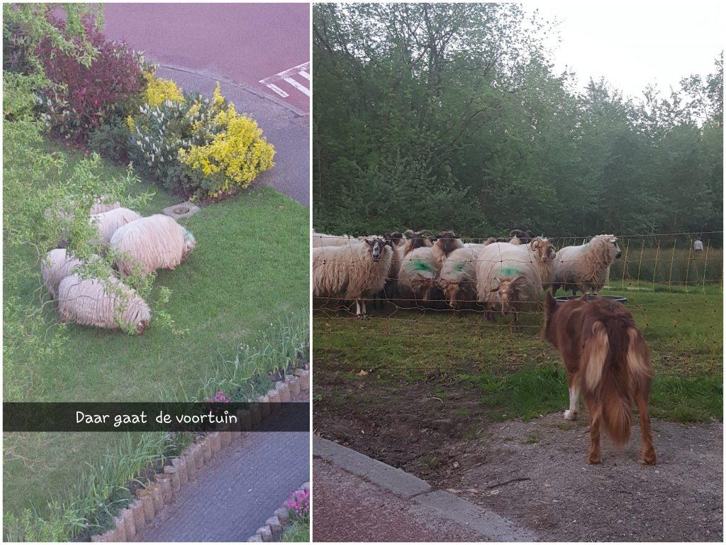 schapen in de voortuin