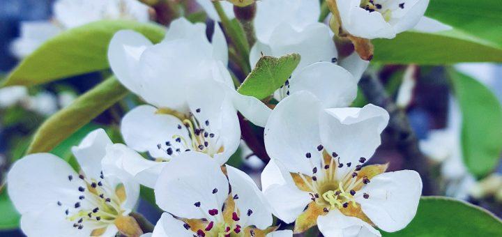 lente kersen bloesem