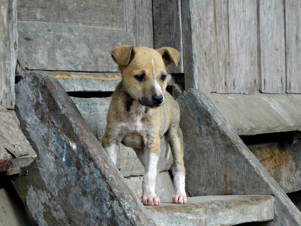hond filipijnen pup