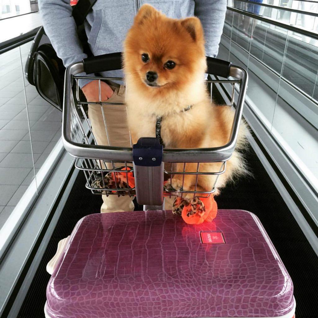 vliegen met je hond pom