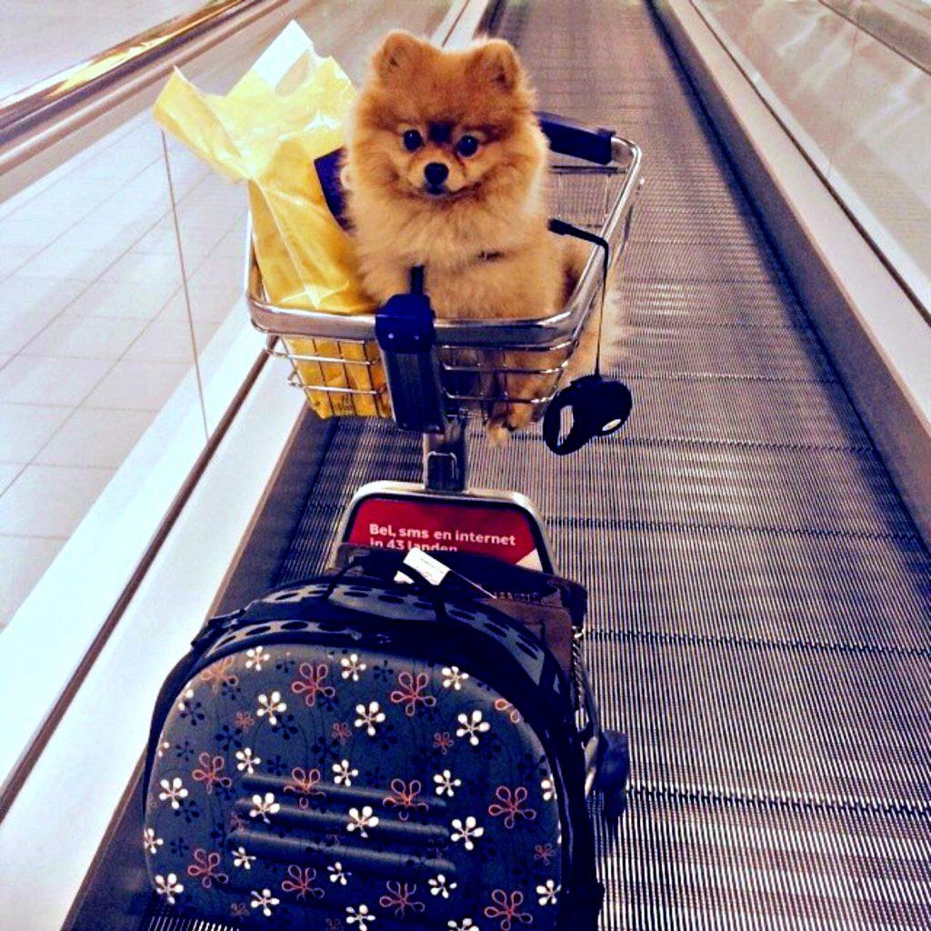 vliegen met je hond prince pom reistas