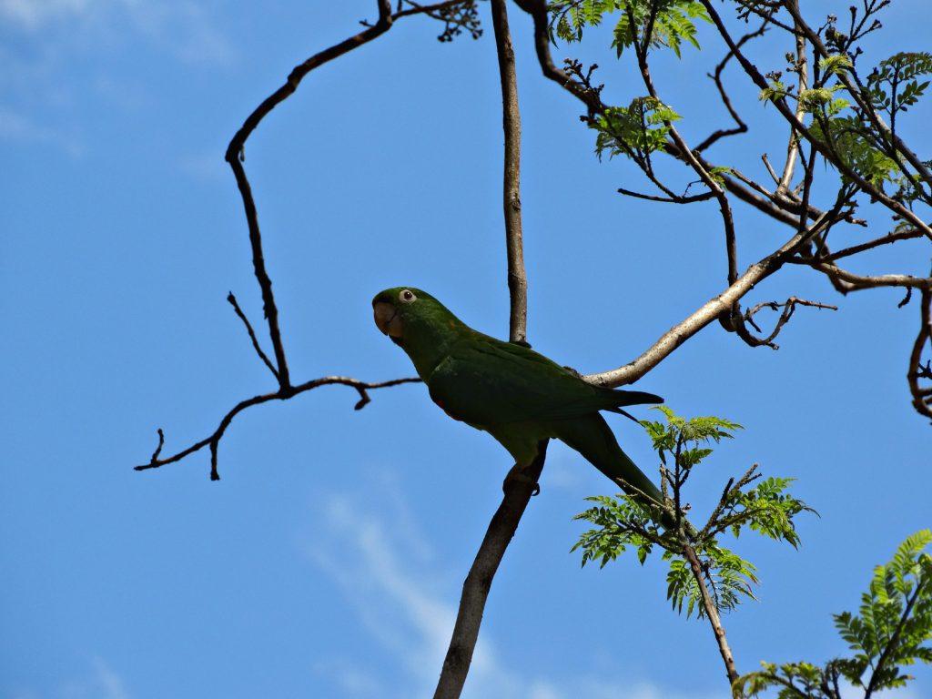 papegaai buenos aires